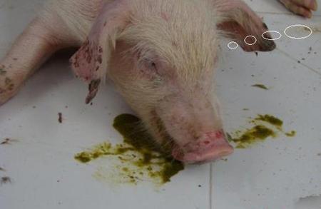 这六种猪病,常引发猪呕吐,提前预防很重要!