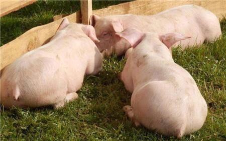 养猪越来越不赚钱了,去年这个时候猪价18元