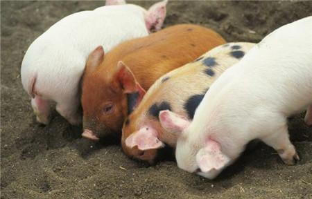 仔猪断奶,巧妙吃料,你不知道的2个方法!
