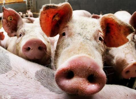 照这方法养猪,口蹄疫、腹泻、蓝耳、呼吸道疾病都不是事!