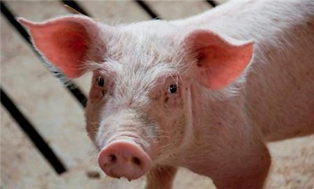 猪高热病的防治绝招,不知道的养殖户损失惨重!