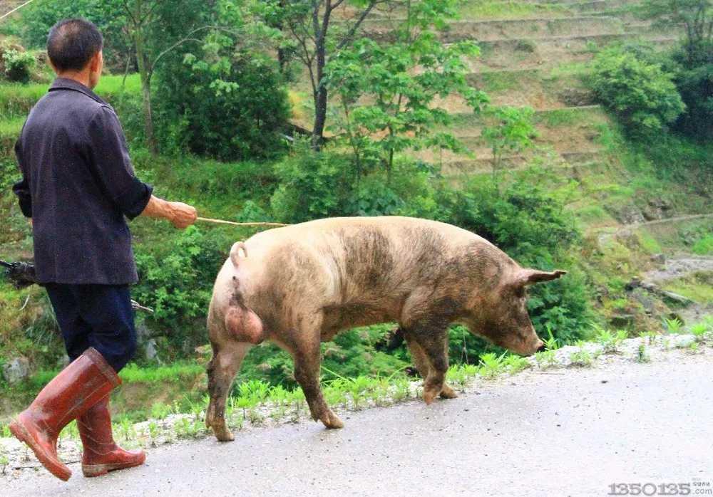长沙绿叶篇—赶猪方法选的对,人不累猪也不受罪