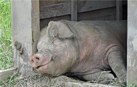 动物福利改善养殖健康状况,一年可节省药费300万以上