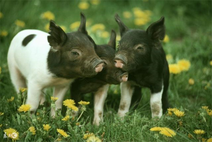 保健养猪篇—免疫力不足的代价