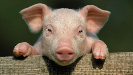 猪磨牙,反映出多种内在疾病,需提高警惕!