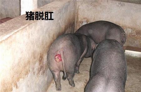 告诉你猪脱肛的原因及如何正确处理