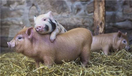 养猪的那点儿事儿
