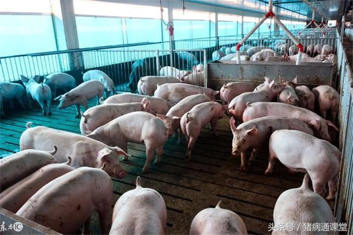 1、如果猪除了不吃食,还伴随发烧,咳嗽,呼吸困难,这应该是感冒了,或者病毒性或细菌感染,炎症会造成猪发热,从而影响育肥猪的采食。