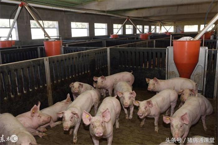 3、育肥猪自身肠道的疾病,断奶时产生了应激,造成小肠绒毛受损,肠胃不健康,导致的食欲减少。