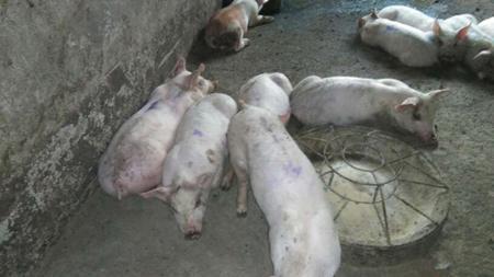 猪咳了半个月,是顽固性咳喘难治,还是用药不对症?