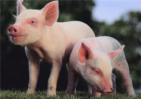 长沙绿叶篇—后备猪饲养管理操作规程