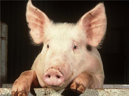 不可忽视的猪舍有害气体!如何保持舍内空气的质量?