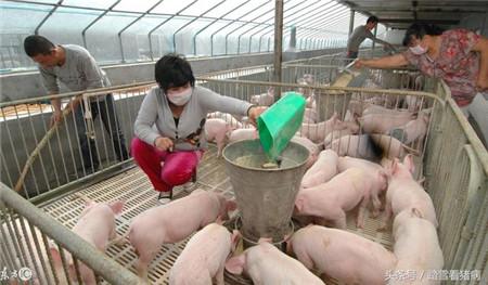猪场光照对于猪有什么具体好处,养猪人应该怎么做?