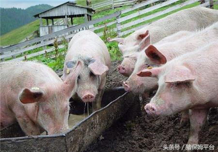 几个实用的治猪病偏方,治疗这些猪病很有效