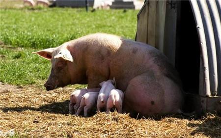 这种情况母猪返情,是不可以配种的