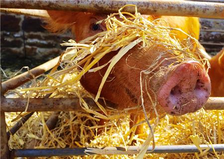 注意:复方阿莫西林用不好对猪病基本没效!