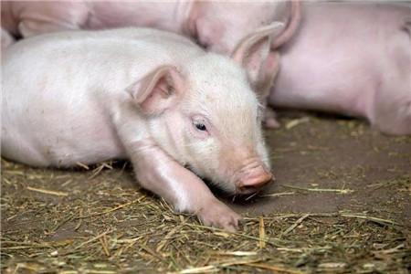 如何辨别猪是否生病?猪病辨别方法大全!