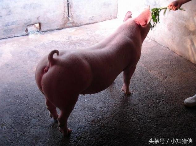 有养殖户为了猪快速生长,并且想要猪生长快速,就胡乱添加抗生素,对消费者健康和食品安全有危害性,为了广大朋友的健康,请适时适量和有针对性的添加抗生素。