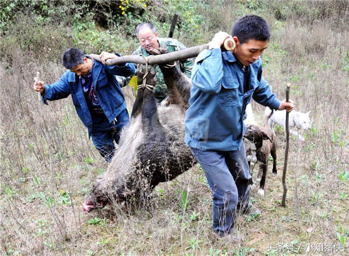 野猪肉虽好吃,但野猪来了真抓得住吗?抓野猪也是需要套路的