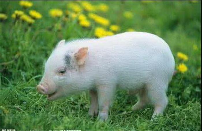 牧草养猪或因一举措成为未来养猪业新宠