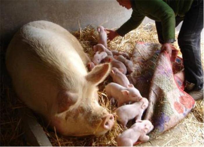 使用青霉素有窍门,养猪人这样做,省钱治病效果好