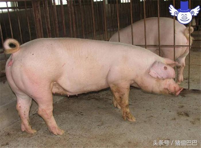 母猪可不能当肥猪养,否则饲料钱可能都白花了