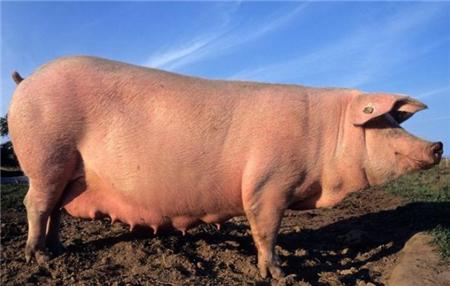 母猪便秘怎么用灌肠法进行治疗?