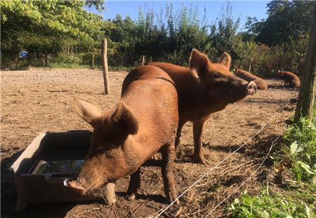 屠企放假倒计时,市场猪源增多,猪价还能超跌反弹?