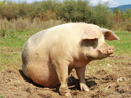 快过年了,屠企开启新一轮压价,养猪人心里苦