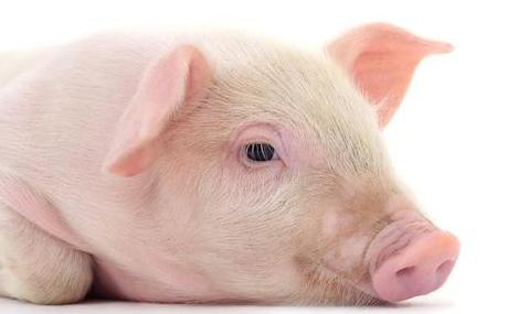 猪朋友18财运挡不住,福气,福气,快来接住