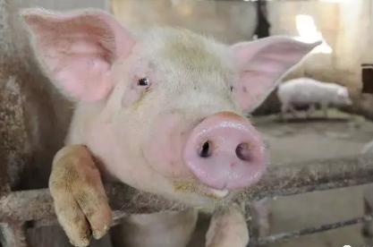 如何治疗猪蹄叶炎以及猪得了蹄叶炎会传染吗?