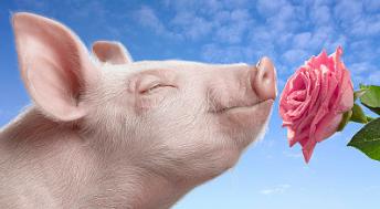 当哺乳母猪从产房下来,传统饲养模式饲养户喜欢用限饲的方法来刺激母猪发情而经过试验自由采食更能促进母猪的排卵以及发情。