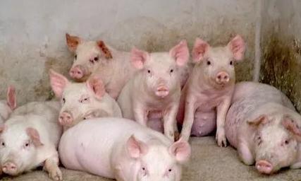 前后段落之间空行数:保育猪的饲养管理