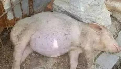 遇到猪场急症---胀肚子该怎么呢?养猪人看过来