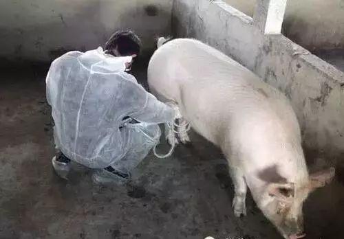 对于空怀期的母猪饲养有一半以上猪场做错了!