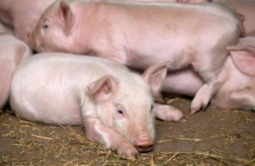 挑选仔猪;让仔猪在地上随意走动,仔细观察,做到七看!准没错!
