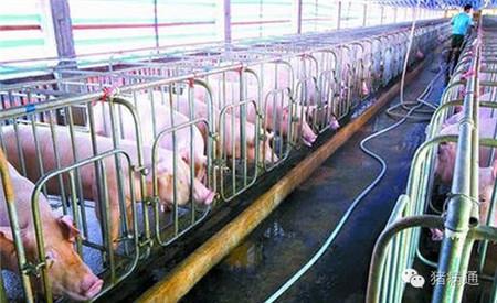 如何掌握好母猪产前的管理技术?