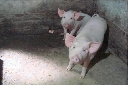 猪肠道疾病大汇总,看病、治病容易多了!
