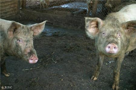 春季猪腹泻的预防治疗,猪病管控直接关乎养猪成败