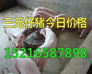 猪苗出售山东仔猪养殖场销售仔猪报价