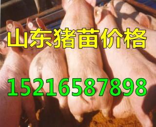 仔猪出售山东猪苗产地仔猪供应价格