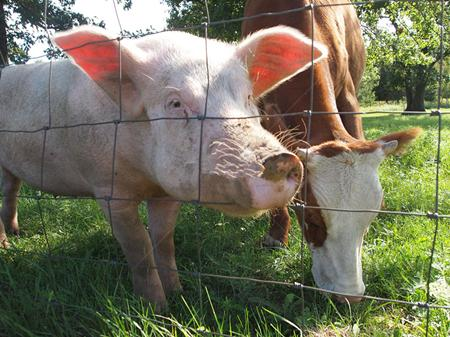 猪链球菌病,告诉你:为什么猪场不能混入其他动物?