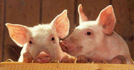 猪价高位失守,梅花香自苦寒来,养猪人要坚强!