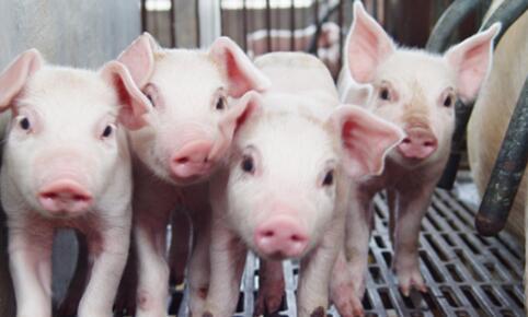 温氏股份:1月销售商品肉猪178.95万头 收入31.45亿元