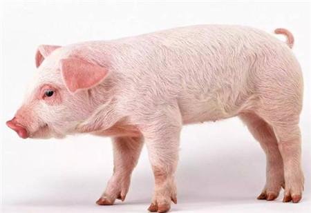 猪哮喘最经济的疗法