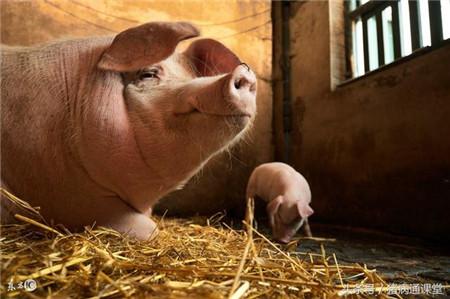 猪育种工作中存在的若干问题及相应措施