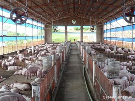冬季养猪场饲养肉猪的防寒保暖技术要求