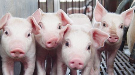 2018年2月18日(15至19公斤)仔猪价格行情走势