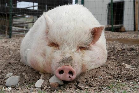 """腊月猪病多发,农村俗语""""养猪无窍,窝干食饱"""",教养猪人防病"""