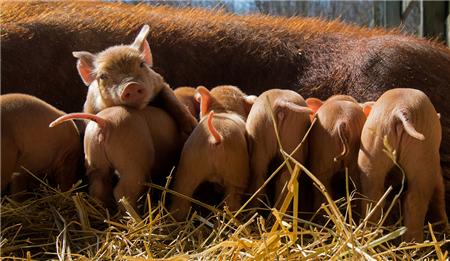 冯永辉:猪价、肉价反向变化 问题在屠宰环节